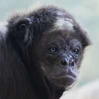 402-8465 SD Zoo - Columbian Brown Spider Monkey 12x12 300 dpi 20150318