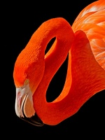 402-7998 SD Zoo - Flamingo 12x18 300 dpi 20140521