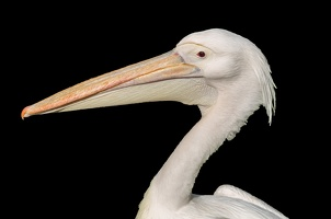 404-6818 London - St James Park White Pelican (18x12) 15x10 300 dpi 20150415